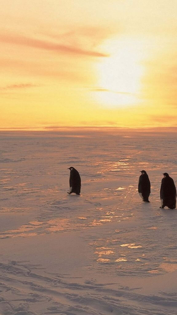 Penguins in Winter Morning iPhone Wallpaper