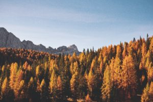Pine Tress In Autumn Colors